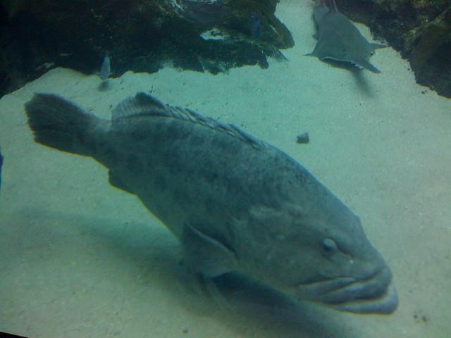 Georgia aquarium fish explore brisan 39 s photos on flickr for Georgia freshwater fish
