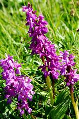 flower, garden, plant, lilac, herb, wildflower, flora, dactylorhiza praetermissa, meadow,
