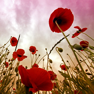 Artistic shot of poppies