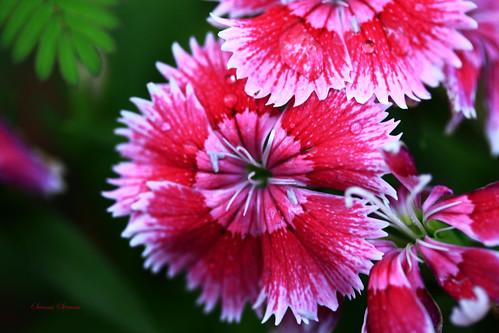 canon rebel bangalore pinkflower ulsoor xti pinkdianthus swamistream swamistreamcom
