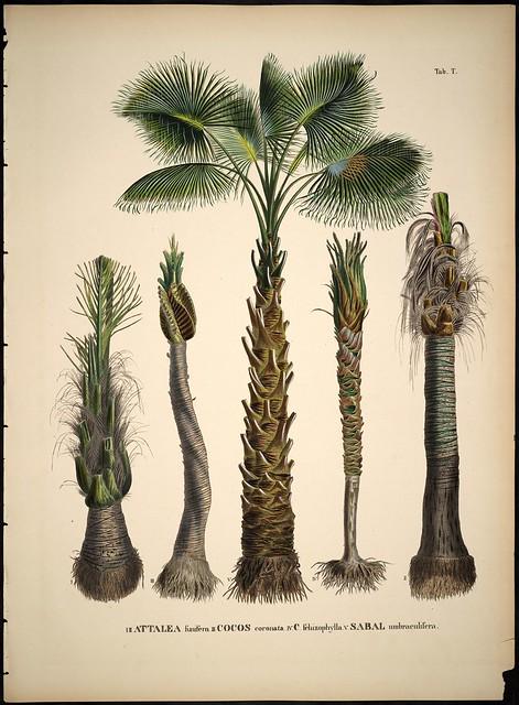 Attalea - Cocos - Sabal species