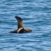 Short-tailed Shearwater - Photo (c) Larry Meade, some rights reserved (CC BY-NC-SA)