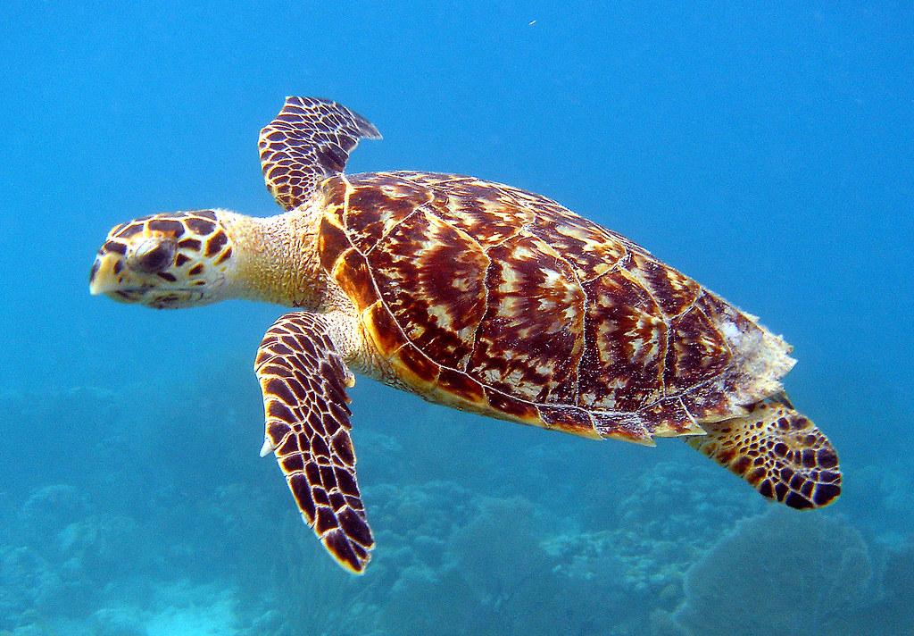 Цікаво. У водах океану проживає черепаха, яка світиться