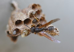 animal, wasp, invertebrate, macro photography, membrane-winged insect, fauna, close-up, hornet, pest,
