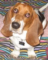 harrier(0.0), american foxhound(0.0), pocket beagle(0.0), finnish hound(0.0), hamiltonstã¶vare(0.0), beagle-harrier(0.0), drever(0.0), serbian tricolour hound(0.0), beagle(0.0), dog breed(1.0), animal(1.0), basset hound(1.0), hound(1.0), dog(1.0), redbone coonhound(1.0), treeing walker coonhound(1.0), english foxhound(1.0), pet(1.0), mammal(1.0), basset artã©sien normand(1.0), estonian hound(1.0), english coonhound(1.0), coonhound(1.0),