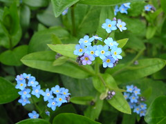 annual plant, flower, plant, flora, forget-me-not,