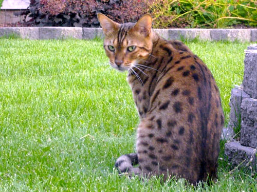 Bengal Cat Weight And Height