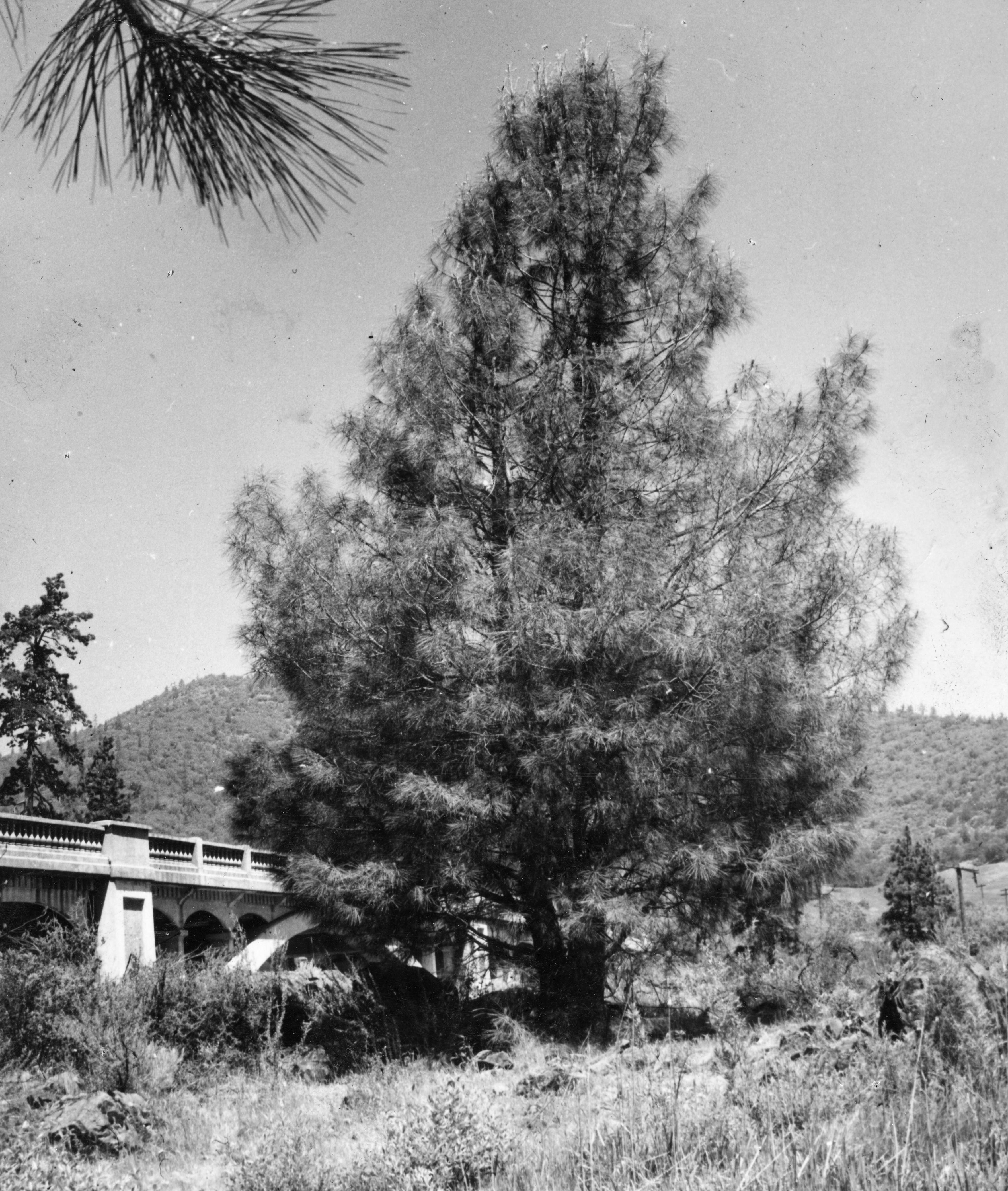 Digger pine tree