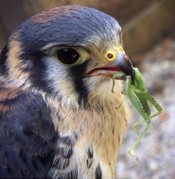 Falco sparverius 3389746956_f839c2f77f_o