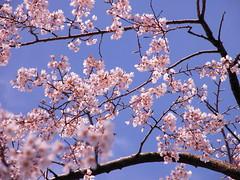Sakura - Cherry blossoms