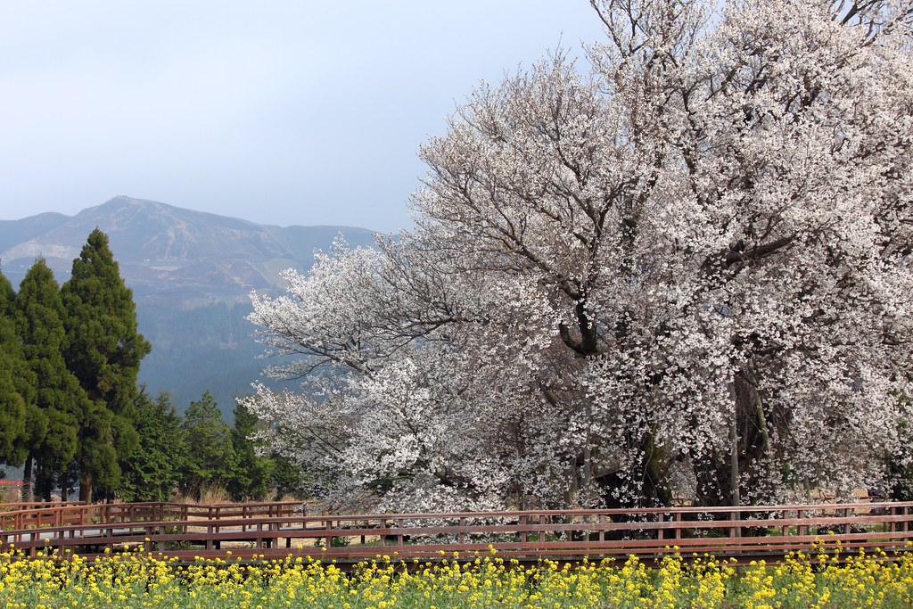 400 Years Old Sakura Tree / 一心行の大桜(いっしんぎょうのおおざくら)
