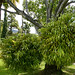 Large Staghorn Ferns by Quinta Jardins do Lago
