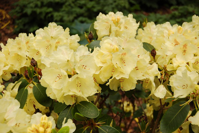 rhododendron 39 goldkrone 39 ericaceae rhododendron. Black Bedroom Furniture Sets. Home Design Ideas