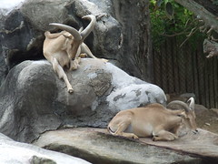 animal, zoo, argali, mammal, barbary sheep, fauna,
