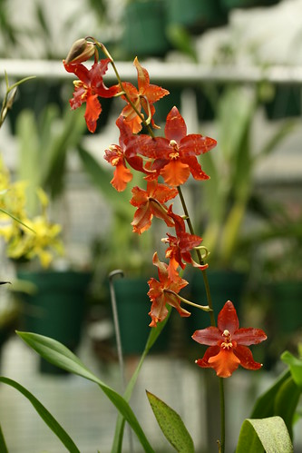 Odontoglossum 'Willow Pond'