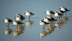 Sanderling - Photo (c) Andreu Anguera, some rights reserved (CC BY-NC-ND)