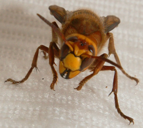 Giant Hornet Insect