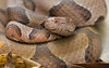 Ozark Copperhead Wallpaper for Widescreen Desktop