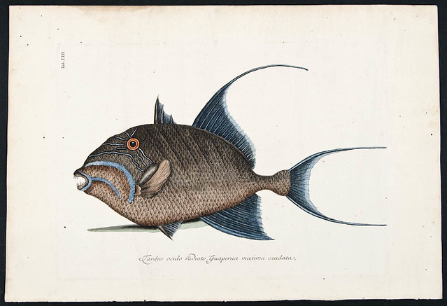 Catesby old wife fish 1777 flickr photo sharing for Old wife fish