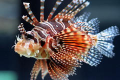 deep sea fish(0.0), animal(1.0), fish(1.0), organism(1.0), marine biology(1.0), macro photography(1.0), fauna(1.0), close-up(1.0), lionfish(1.0), scorpionfish(1.0),