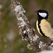 Great Tit - Photo (c) Leo-Avalon, some rights reserved (CC BY-NC-ND)