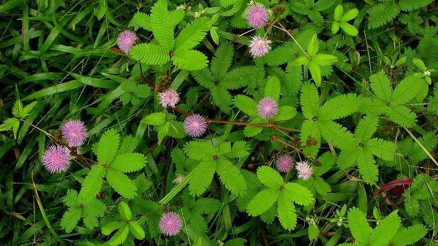 Photo: Sensitive Plant