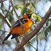 Small photo of Altamira Oriole