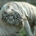 White Tigers in Balanced Harmony... by Wandering the World in Magic Places