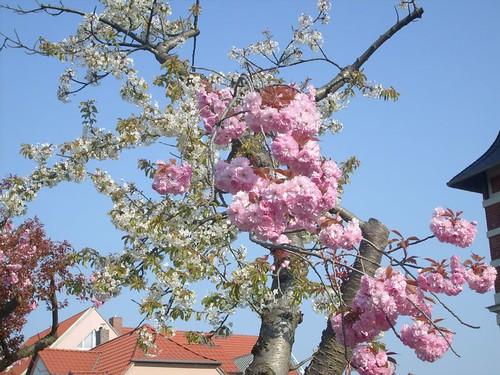 Rosa und weiße Blüten an einem Kirschbaum
