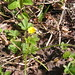 Dwarf Cinquefoil - Photo (c) desultrix, some rights reserved (CC BY-SA)