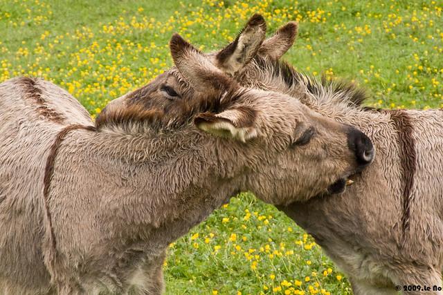 Les ânes se font la bise sur la joue gauche