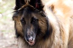 german shepherd dog(0.0), greenland dog(0.0), belgian shepherd malinois(0.0), dog breed(1.0), animal(1.0), dog(1.0), pet(1.0), scotch collie(1.0), tervuren(1.0), belgian shepherd(1.0), rough collie(1.0), collie(1.0), wolfdog(1.0), shiloh shepherd dog(1.0), carnivoran(1.0),