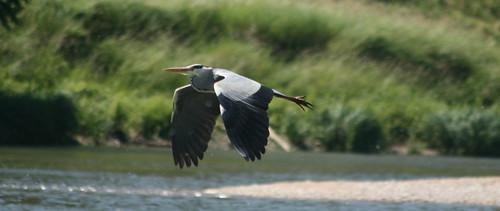 heron_flight