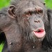 Vocalizing chimpanzee