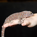 Tokay Gecko - Photo (c) Jonathan Crowe, some rights reserved (CC BY-NC-ND)