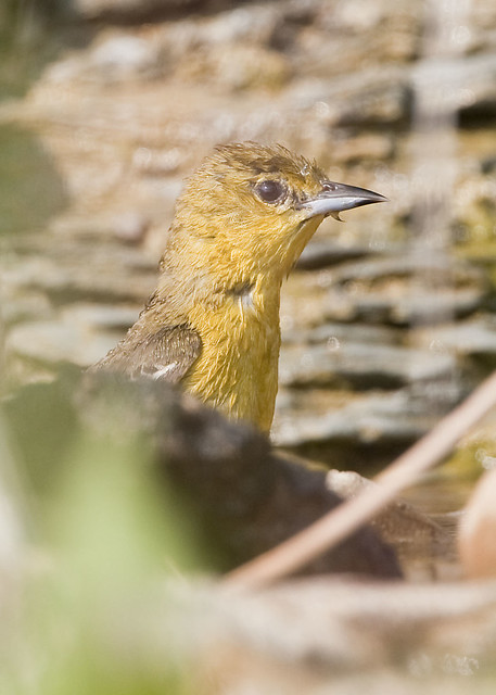 FEMALE ORCHARD ORIOLE, after a bath
