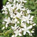 white stonecrop - Photo (c) Shihmei Barger 舒詩玫, some rights reserved (CC BY-NC-ND)
