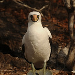 The Long Stare, Nazca Booby - Galapagos Islands
