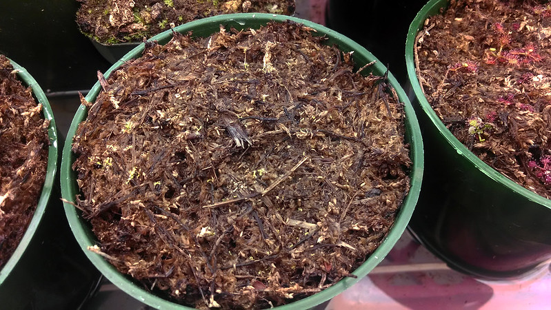 Drosera capensis 'Albino' seedlings