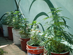 arecales(0.0), flower(0.0), rosemary(0.0), produce(0.0), plant(1.0), cannabis(1.0), herb(1.0), houseplant(1.0),