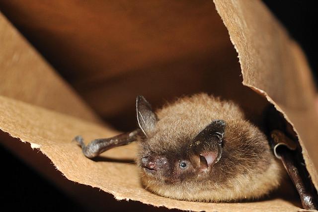 Little brown bat - photo#15