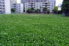 clover field (4)