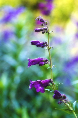 Purple Penstemon