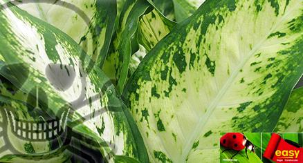 Ojo con la planta venenosa del easy punto de fuga - Plantas venenosas de interior ...