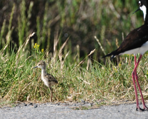 Baby black-necked stilt