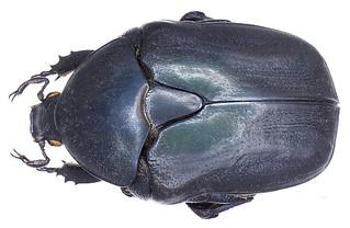 Protaetia opaca (Fabricius, 1787)