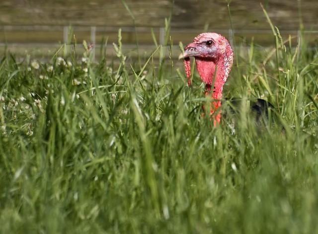 Sneaky turkey