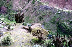 Cacti by the Colca Canyon