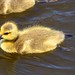 I can float, I can swim, I'm a very happy gosling!  :o))