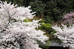 Sakura Scene